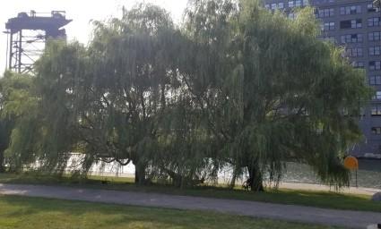 Chinatown trees